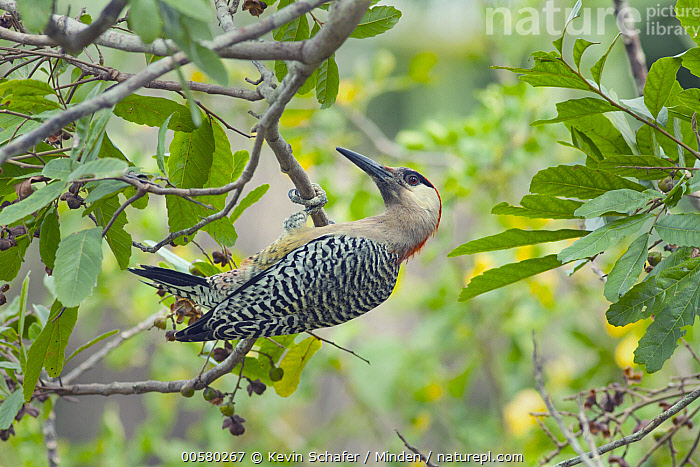 West Indian Woodpecker (Melanerpes superciliaris), Zapata Peninsula, Cuba  ,  Adult, Color Image, Cuba, Day, Endemic, Full Length, Hanging, Horizontal, Melanerpes superciliaris, Nobody, One Animal, Outdoors, Photography, Side View, West Indian Woodpecker, Wildlife, Zapata Peninsula,West Indian Woodpecker,Cuba  ,  Kevin Schafer