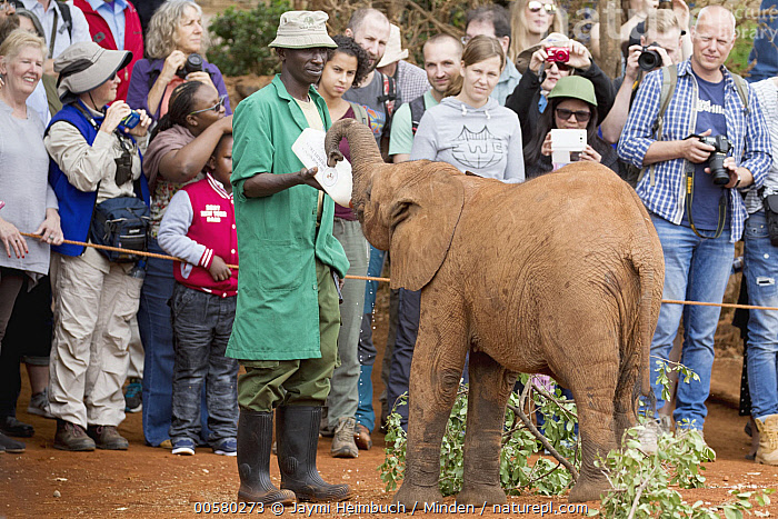 African Elephant (Loxodonta africana) orphaned calf bottle fed by keeper in front of tourists, David Sheldrick Wildlife Trust, Nairobi, Kenya, Adult, African Descent, African Elephant, Baby, Bottle, Calf, Captive, Caucasian Appearance, Color Image, Conservation, Day, David Sheldrick Wildlife Trust, Ecotourism, Feeding, Female, Front View, Full Length, Horizontal, Keeper, Kenya, Large Group of People, Loxodonta africana, Male, Man, Mid Adult, Nairobi, One Animal, Orphan, Outdoors, Photography, Side View, Threatened Species, Tourism, Tourist, Vulnerable Species, Wildlife, Woman, Young Adult,African Elephant,Kenya, Jaymi Heimbuch