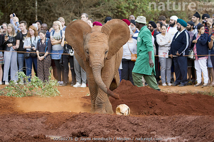 African Elephant (Loxodonta africana) orphaned calf playing with ball in front of tourists, David Sheldrick Wildlife Trust, Nairobi, Kenya, Adult, African Descent, African Elephant, Baby, Calf, Captive, Caucasian Appearance, Color Image, Conservation, Day, David Sheldrick Wildlife Trust, Ecotourism, Female, Front View, Full Length, Horizontal, Keeper, Kenya, Large Group of People, Loxodonta africana, Male, Man, Mid Adult, Nairobi, One Animal, Orphan, Outdoors, Photography, Playing, Side View, Threatened Species, Tourism, Tourist, Vulnerable Species, Wildlife, Woman, Young Adult,African Elephant,Kenya, Jaymi Heimbuch