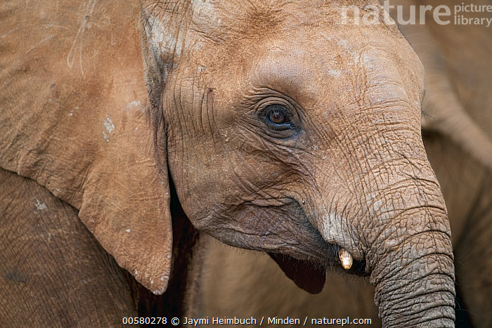 African Elephant (Loxodonta africana) orphaned calf, David Sheldrick Wildlife Trust, Nairobi, Kenya, Adult, African Elephant, Baby, Calf, Captive, Color Image, Day, David Sheldrick Wildlife Trust, Full Frame, Head and Shoulders, Horizontal, Kenya, Loxodonta africana, Nairobi, Nobody, One Animal, Orphan, Outdoors, Photography, Side View, Threatened Species, Vulnerable Species, Wildlife,African Elephant,Kenya, Jaymi Heimbuch