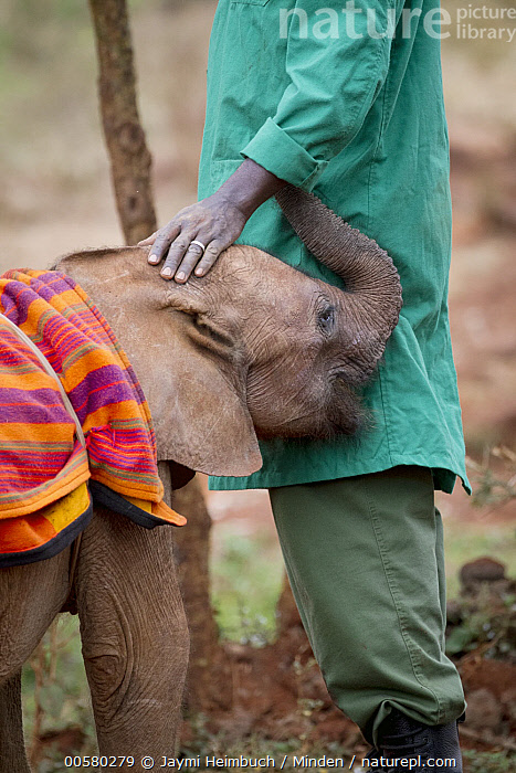 African Elephant (Loxodonta africana) orphaned calf with keeper, David Sheldrick Wildlife Trust, Nairobi, Kenya, Adult, African Descent, African Elephant, Baby, Calf, Captive, Color Image, Conservation, Day, David Sheldrick Wildlife Trust, Keeper, Kenya, Loxodonta africana, Nairobi, One Animal, One Person, Orphan, Outdoors, Photography, Side View, Threatened Species, Vertical, Vulnerable Species, Waist Up, Wildlife,African Elephant,Kenya, Jaymi Heimbuch