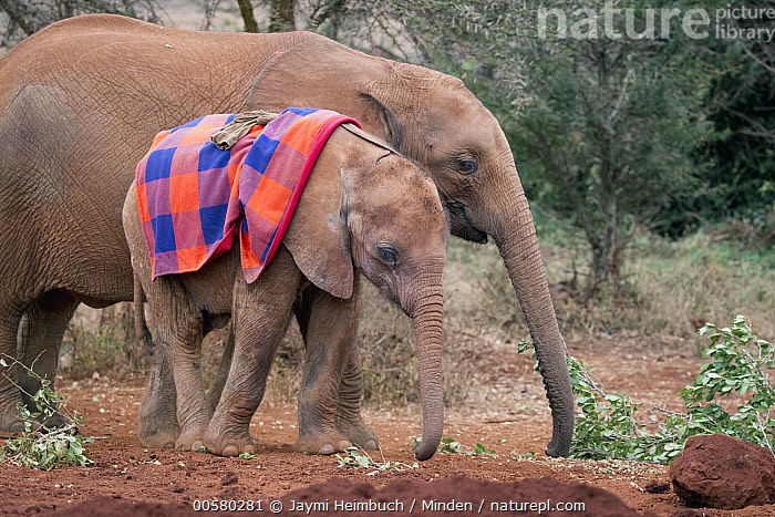 African Elephant (Loxodonta africana) orphaned calves, David Sheldrick Wildlife Trust, Nairobi, Kenya  ,  Adult, African Elephant, Color Image, Cute, Day, David Sheldrick Wildlife Trust, Full Length, Horizontal, Kenya, Loxodonta africana, Nairobi, Nobody, Outdoors, Photography, Side View, Threatened Species, Three Quarter Length, Two Animals, Vulnerable Species, Wildlife,African Elephant,Kenya  ,  Jaymi Heimbuch