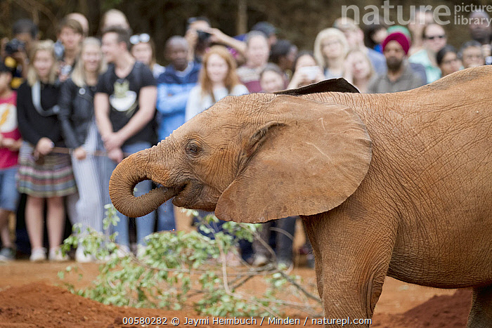 African Elephant (Loxodonta africana) orphaned calf drinking in front of tourists, David Sheldrick Wildlife Trust, Nairobi, Kenya, Adult, African Elephant, Baby, Calf, Captive, Caucasian Appearance, Color Image, Conservation, Day, David Sheldrick Wildlife Trust, Drinking, Ecotourism, Female, Front View, Full Length, Horizontal, Kenya, Large Group of People, Loxodonta africana, Mid Adult, Nairobi, One Animal, Orphan, Outdoors, Photography, Side View, Threatened Species, Tourism, Tourist, Vulnerable Species, Waist Up, Wildlife, Woman, Young Adult,African Elephant,Kenya, Jaymi Heimbuch