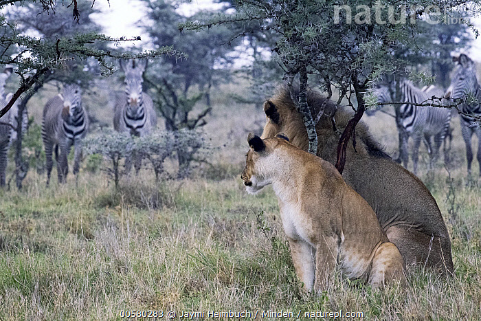 African Lion (Panthera leo) male and female watching Grevy's Zebras (Equus grevyi) at dusk, Laikipia, Kenya, Adult, African Lion, Color Image, Day, Dimorphic, Endangered Species, Equus grevyi, Female, Full Length, Grevy's Zebra, Horizontal, Kenya, Laikipia, Lioness, Male, Medium Group of Animals, Nobody, Outdoors, Panthera leo, Photography, Predator, Prey, Sexual Dimorphism, Side View, Threatened Species, Vulnerable Species, Watching, Wildlife,African Lion,Grevy's Zebra,Equus grevyi,Kenya, Jaymi Heimbuch