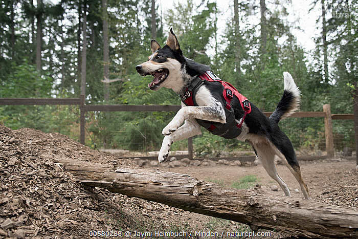 Domestic Dog (Canis familiaris) named Athena, a scent detection dog with Conservation Canines, jumping over log, northeast Washington, Adult, Canis familiaris, Color Image, Conservation Canines, Day, Domestic Dog, Full Length, Horizontal, Jumping, Nobody, One Animal, Outdoors, Photography, Running, Scent Detection Dog, Side View, Washington,Domestic Dog,Washington, USA, Jaymi Heimbuch