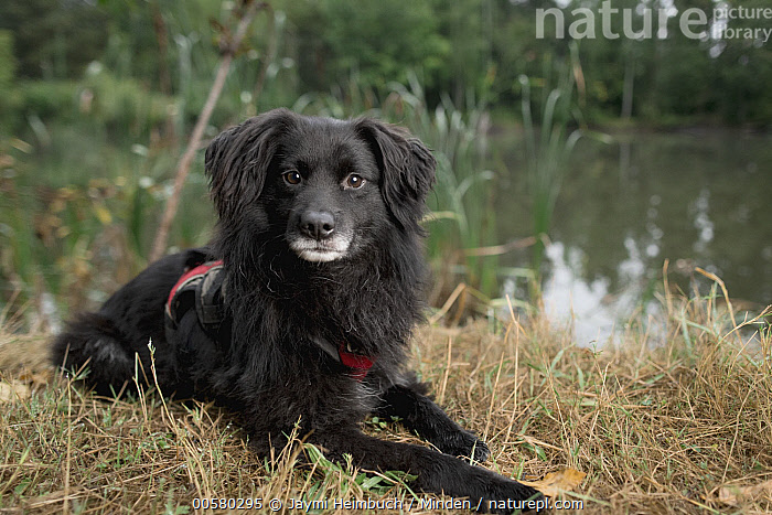 Domestic Dog (Canis familiaris) named Beckett, a scent detection dog with Conservation Canines, northeast Washington  ,  Adult, Canis familiaris, Color Image, Conservation Canines, Cute, Day, Domestic Dog, Horizontal, Looking at Camera, Nobody, One Animal, Outdoors, Photography, Scent Detection Dog, Side View, Three Quarter Length, Washington,Domestic Dog,Washington, USA  ,  Jaymi Heimbuch