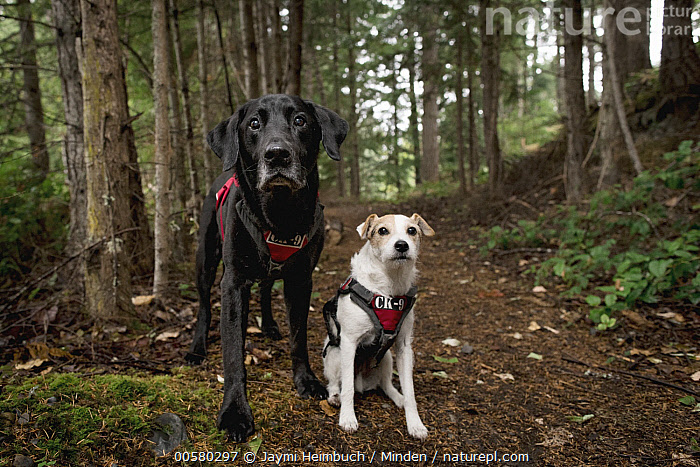Domestic Dog (Canis familiaris) pair, named Sampson and Casey, scent detection dogs with Conservation Canines, northeast Washington  ,  Adult, Canis familiaris, Color Image, Conservation Canines, Day, Domestic Dog, Front View, Full Length, Horizontal, Looking at Camera, Nobody, Outdoors, Photography, Scent Detection Dog, Two Animals, Washington,Domestic Dog,Washington, USA  ,  Jaymi Heimbuch