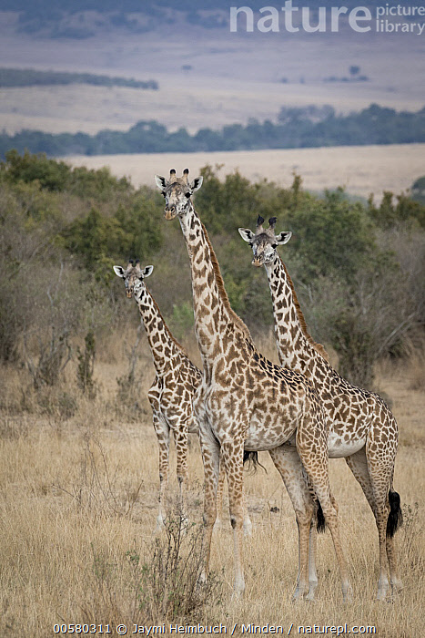 Masai Giraffe (Giraffa tippelskirchi) with family, Masai Mara, Kenya, Adult, Baby, Calf, Color Image, Day, Family, Father, Female, Full Length, Giraffa tippelskirchi, Kenya, Male, Masai Mara, Masai Giraffe, Mother, Nobody, Outdoors, Parent, Photography, Side View, Three Animals, Vertical, Wildlife,Masai Giraffe,Kenya, Jaymi Heimbuch