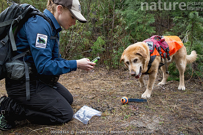 Domestic Dog (Canis familiaris) named Chester, a scent detection dog with Conservation Canines, found scat, which is now being recorded by field technician Rachel Katz, northeast Washington, Adult, Canis familiaris, Caucasian Appearance, Color Image, Conservation Canines, Day, Domestic Dog, Female, Full Length, Horizontal, One Animal, One Person, Outdoors, Photography, Rachel Katz, Recording, Scat, Scent Detection Dog, Side View, Technician, Three Quarter Length, Washington, Woman, Young Adult,Domestic Dog,Washington, USA, Jaymi Heimbuch