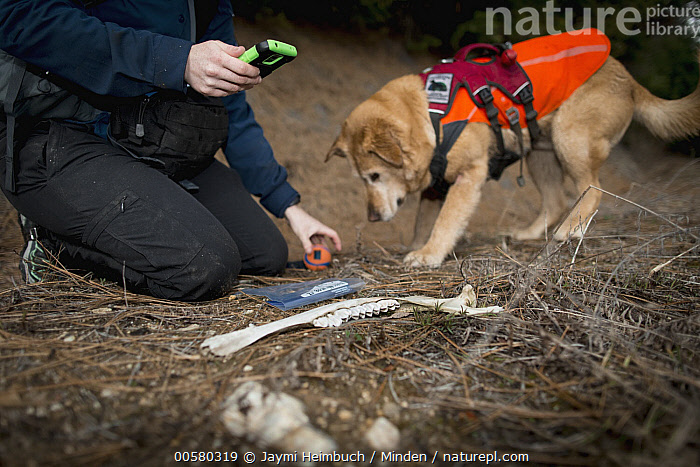 Domestic Dog (Canis familiaris) named Chester, a scent detection dog with Conservation Canines, found a bone, which is now being recorded by field technician Rachel Katz, northeast Washington  ,  Adult, Bone, Canis familiaris, Caucasian Appearance, Color Image, Conservation Canines, Day, Domestic Dog, Female, Horizontal, One Animal, One Person, Outdoors, Photography, Rachel Katz, Recording, Scent Detection Dog, Side View, Technician, Three Quarter Length, Washington, Woman, Young Adult,Domestic Dog,Washington, USA  ,  Jaymi Heimbuch