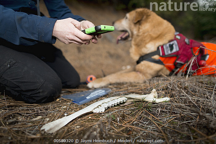Domestic Dog (Canis familiaris) named Chester, a scent detection dog with Conservation Canines, found a bone, which is now being recorded by field technician Rachel Katz, northeast Washington, Adult, Bone, Canis familiaris, Caucasian Appearance, Color Image, Conservation Canines, Day, Domestic Dog, Female, Horizontal, One Animal, One Person, Outdoors, Photography, Rachel Katz, Recording, Scent Detection Dog, Side View, Technician, Waist Up, Washington, Woman, Young Adult,Domestic Dog,Washington, USA, Jaymi Heimbuch