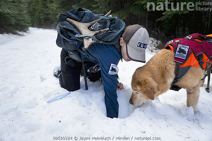 Domestic Dog (Canis familiaris) named Chester, a scent detection dog with Conservation Canines, looking for object with field technician Rachel Katz, northeast Washington, Adult, Canis familiaris, Caucasian Appearance, Color Image, Conservation Canines, Day, Domestic Dog, Female, Full Length, Horizontal, One Animal, One Person, Outdoors, Photography, Rachel Katz, Scent Detection Dog, Searching, Side View, Smelling, Snow, Technician, Waist Up, Washington, Woman, Young Adult,Domestic Dog,Washington, USA, Jaymi Heimbuch