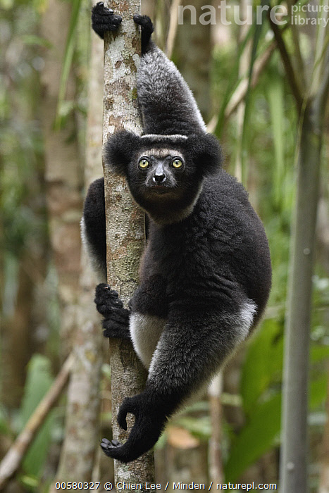 Indri (Indri indri), Madagascar  ,  Adult, Arboreal, Color Image, Day, Endangered Species, Endemic, Front View, Full Length, Indri, Indri indri, Madagascar, Nobody, One Animal, Outdoors, Photography, Vertical, Wildlife,Indri,Madagascar  ,  Chien Lee