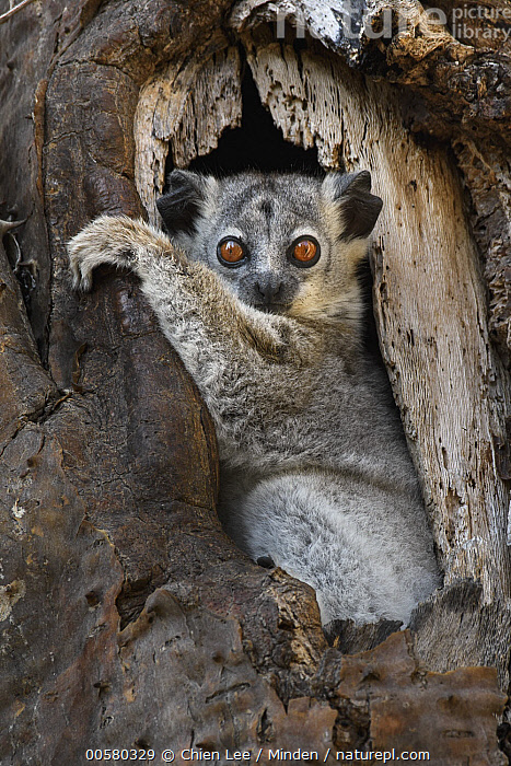 White-footed Sportive Lemur (Lepilemur leucopus) in cavity, Madagascar, Adult, Arboreal, Cavity, Color Image, Cute, Day, Full Length, Lepilemur leucopus, Looking at Camera, Madagascar, Nobody, One Animal, Outdoors, Photography, Side View, Vertical, White-footed Sportive Lemur, Wildlife,White-footed Sportive Lemur,Madagascar, Chien Lee