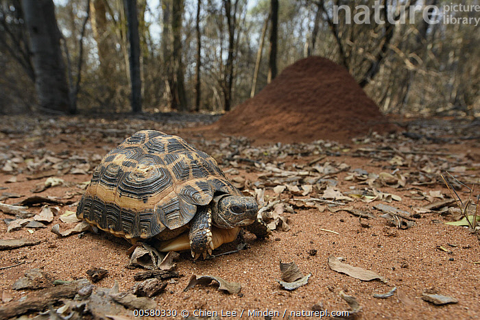 Spider Tortoise (Pyxis arachnoides) in forest, Berenty Private Reserve, Madagascar  ,  Adult, Animal in Habitat, Berenty Private Reserve, Color Image, Day, Forest, Full Length, Horizontal, Madagascar, Nobody, One Animal, Outdoors, Photography, Pyxis arachnoides, Side View, Spider Tortoise, Wide-angle Lens, Wildlife,Spider Tortoise,Madagascar  ,  Chien Lee