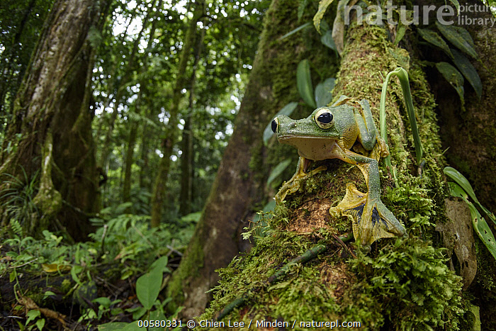 Wallace's Flying Frog (Rhacophorus nigropalmatus) in rainforest, Gunung Penrissen, Sarawak, Borneo, Malaysia  ,  Adult, Animal in Habitat, Borneo, Color Image, Day, Front View, Full Length, Gunung Penrissen, Horizontal, Looking at Camera, Low Angle View, Malaysia, Nobody, One Animal, Outdoors, Photography, Rainforest, Rhacophorus nigropalmatus, Sarawak, Wallace's Flying Frog, Wide-angle Lens, Wildlife,Wallace's Flying Frog,Malaysia  ,  Chien Lee