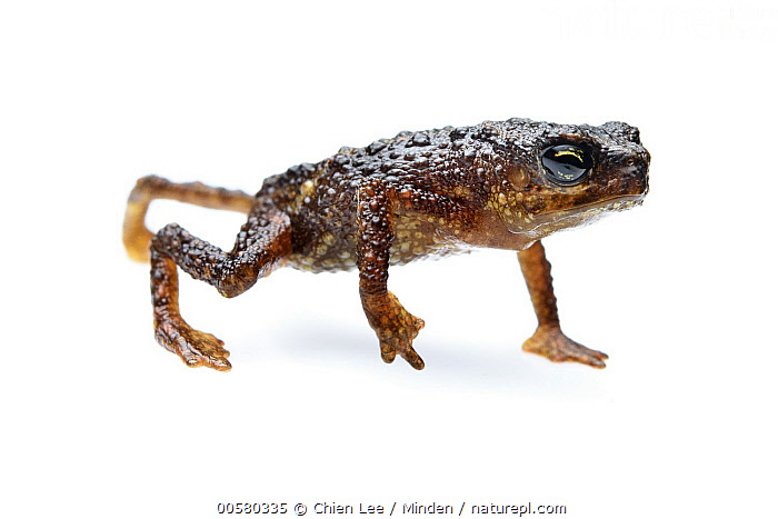 Linanit Dwarf Toad (Pelophryne linanitensis), new species, Pulong Tau National Park, Sarawak, Borneo, Malaysia, Adult, Borneo, Captive, Color Image, Critically Endangered Species, Cut Out, Day, Endangered Species, Full Length, Horizontal, Indoors, Linanit Dwarf Toad, Malaysia, New Species, Nobody, One Animal, Pelophryne linanitensis, Photography, Pulong Tau National Park, Sarawak, Side View, Studio, White Background, Wildlife,Linanit Dwarf Toad,Malaysia, Chien Lee
