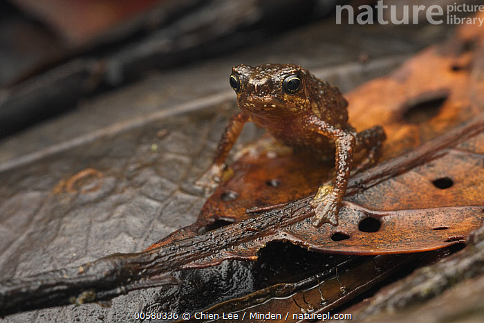Linanit Dwarf Toad (Pelophryne linanitensis), new species, Pulong Tau National Park, Sarawak, Borneo, Malaysia  ,  Adult, Borneo, Color Image, Critically Endangered Species, Day, Endangered Species, Front View, Full Length, Horizontal, Linanit Dwarf Toad, Looking at Camera, Malaysia, New Species, Nobody, One Animal, Outdoors, Pelophryne linanitensis, Photography, Pulong Tau National Park, Sarawak, Wildlife,Linanit Dwarf Toad,Malaysia  ,  Chien Lee