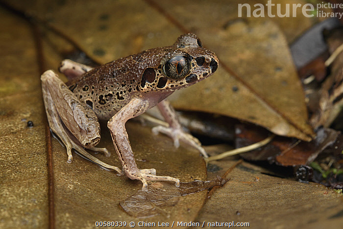 Painted Slender Litter Frog (Leptolalax pictus), Mount Kinabalu National Park, Sabah, Borneo, Malaysia  ,  Adult, Borneo, Color Image, Day, Full Length, Horizontal, Leptolalax pictus, Malaysia, Mount Kinabalu National Park, Nobody, One Animal, Outdoors, Painted Slender Litter Frog, Photography, Sabah, Side View, Threatened Species, Vulnerable Species, Wildlife,Painted Slender Litter Frog,Malaysia  ,  Chien Lee