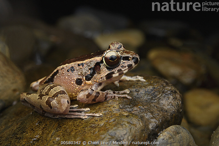Hole-in-the-head Frog (Huia cavitympanum), Mulu National Park, Sarawak, Borneo, Malaysia, Adult, Borneo, Color Image, Day, Full Length, Hole-in-the-head Frog, Horizontal, Huia cavitympanum, Malaysia, Mulu National Park, Nobody, One Animal, Outdoors, Photography, Sarawak, Side View, Wildlife,Hole-in-the-head Frog,Malaysia, Chien Lee