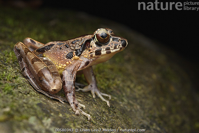 Hole-in-the-head Frog (Huia cavitympanum), Mulu National Park, Sarawak, Borneo, Malaysia  ,  Adult, Borneo, Color Image, Day, Full Length, Hole-in-the-head Frog, Horizontal, Huia cavitympanum, Malaysia, Mulu National Park, Nobody, One Animal, Outdoors, Photography, Sarawak, Side View, Wildlife,Hole-in-the-head Frog,Malaysia  ,  Chien Lee