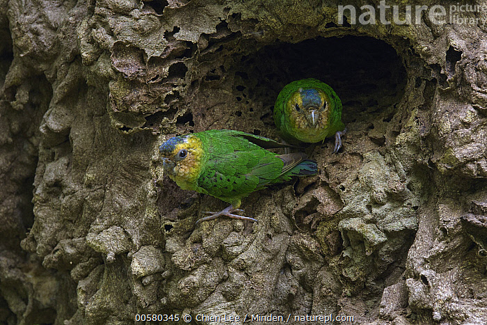 Buff-faced Pygmy-Parrot (Micropsitta pusio) pair in nest cavity in arboreal termite mound, Nimbokrang, West Papua, Indonesia  ,  Adult, Buff-faced Pygmy-Parrot, Color Image, Day, Front View, Full Length, Horizontal, Indonesia, Looking at Camera, Micropsitta pusio, Nest Cavity, Nimbokrang, Nobody, Outdoors, Parrot, Photography, Side View, Termite Mound, Two Animals, West Papua, Wildlife,Buff-faced Pygmy-Parrot,Indonesia  ,  Chien Lee