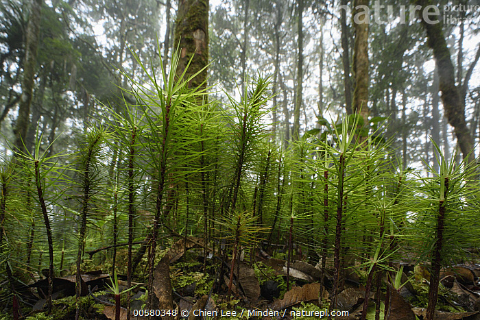 Moss (Dawsonia longifolia) in rainforest, the world's largest moss, Arfak Mountains, West Papua, Indonesia, Arfak Mountains, Color Image, Day, Dawsonia longifolia, Horizontal, Indonesia, Landscape, Largest, Moss, Nobody, Outdoors, Photography, Rainforest, West Papua,Moss,Indonesia, Chien Lee