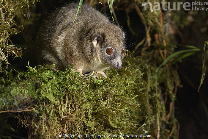 Arfak Ringtail (Pseudochirulus schlegeli), Arfak Mountains, West Papua, Indonesia  ,  Adult, Arboreal, Arfak Mountains, Arfak Ringtail, Color Image, Day, Full Length, Horizontal, Indonesia, Marsupial, Nocturnal, Nobody, One Animal, Outdoors, Photography, Pseudochirulus schlegeli, Side View, Threatened Species, Vulnerable Species, West Papua, Wildlife,Arfak Ringtail,Indonesia  ,  Chien Lee