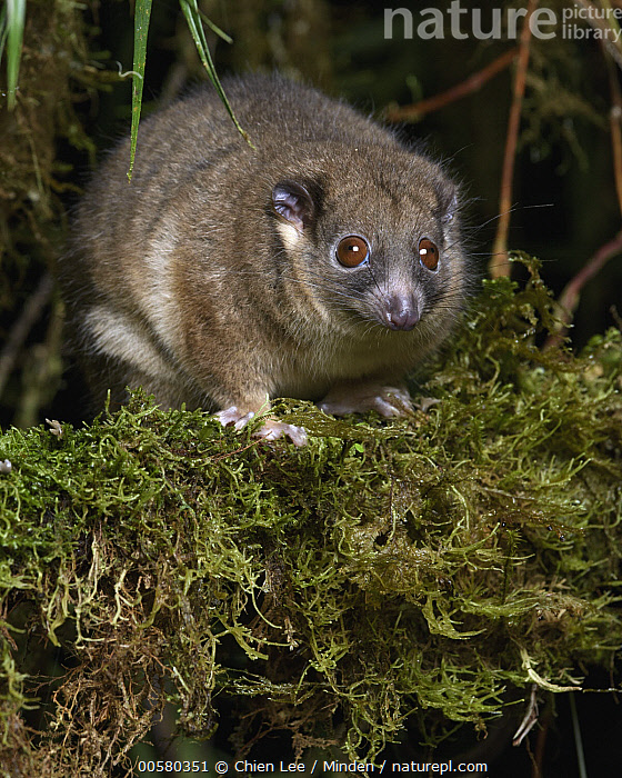 Arfak Ringtail (Pseudochirulus schlegeli), Arfak Mountains, West Papua, Indonesia  ,  Adult, Arboreal, Arfak Mountains, Arfak Ringtail, Color Image, Day, Front View, Full Length, Indonesia, Looking at Camera, Marsupial, Nocturnal, Nobody, One Animal, Outdoors, Photography, Pseudochirulus schlegeli, Threatened Species, Vertical, Vulnerable Species, West Papua, Wildlife,Arfak Ringtail,Indonesia  ,  Chien Lee
