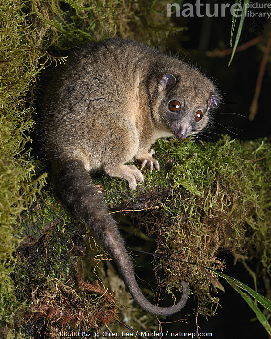 Arfak Ringtail (Pseudochirulus schlegeli), Arfak Mountains, West Papua, Indonesia, Adult, Arboreal, Arfak Mountains, Arfak Ringtail, Color Image, Day, Full Length, Indonesia, Looking at Camera, Marsupial, Nocturnal, Nobody, One Animal, Outdoors, Photography, Pseudochirulus schlegeli, Side View, Threatened Species, Vertical, Vulnerable Species, West Papua, Wildlife,Arfak Ringtail,Indonesia, Chien Lee