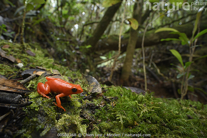 Golden Mantella (Mantella aurantiaca) in forest, Andasibe, Madagascar, Adult, Andasibe, Animal in Habitat, Aposematic Coloration, Color Image, Critically Endangered Species, Day, Endangered Species, Forest, Full Length, Golden Mantella, Horizontal, Madagascar, Mantella aurantiaca, Nobody, One Animal, Orange, Outdoors, Photography, Poisonous, Red, Side View, Wildlife,Golden Mantella,Madagascar, Chien Lee
