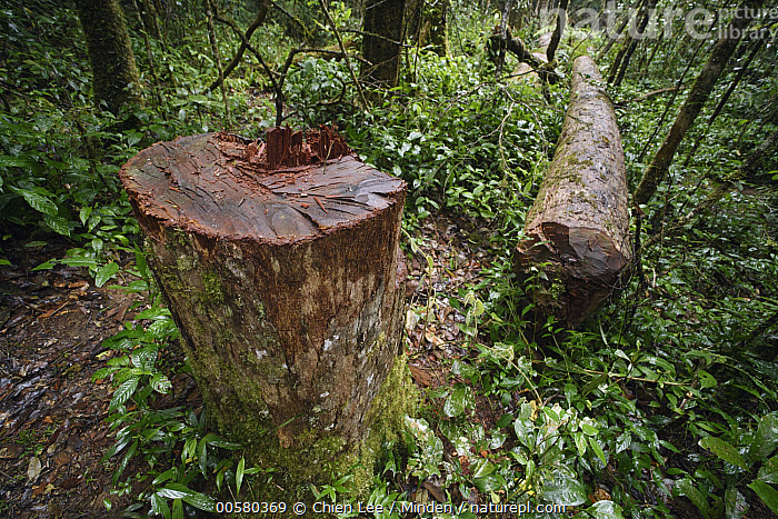 Madagascar Rosewood (Dalbergia baronii) illegally felled, Andasibe, Madagascar, Andasibe, Color Image, Dalbergia baronii, Day, Environmental Issue, Horizontal, Illegal, Logging, Madagascar, Madagascar Rosewood, Nobody, Outdoors, Photography, Threatened Species, Tree, Tree Trunk, Vulnerable Species,Madagascar Rosewood,Madagascar, Chien Lee