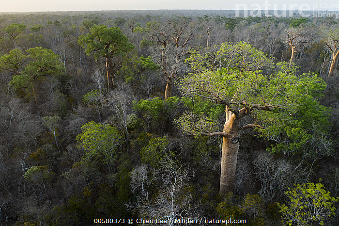 Fony Baobab (Adansonia rubrostipa) trees in dry deciduous forest, Kirindy Forest, Madagascar, Adansonia rubrostipa, Aerial View, Canopy, Color Image, Day, Deciduous Forest, Fony Baobab, Horizon, Horizontal, Kirindy Forest, Landscape, Madagascar, Nobody, Outdoors, Photography,Fony Baobab,Madagascar, Chien Lee
