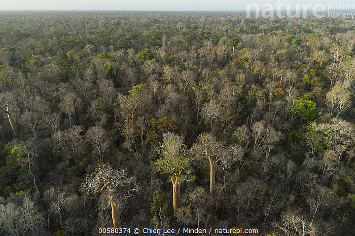 Fony Baobab (Adansonia rubrostipa) trees in dry deciduous forest, Kirindy Forest, Madagascar  ,  Adansonia rubrostipa, Aerial View, Canopy, Color Image, Day, Deciduous Forest, Fony Baobab, Horizon, Horizontal, Kirindy Forest, Landscape, Madagascar, Nobody, Outdoors, Photography,Fony Baobab,Madagascar  ,  Chien Lee