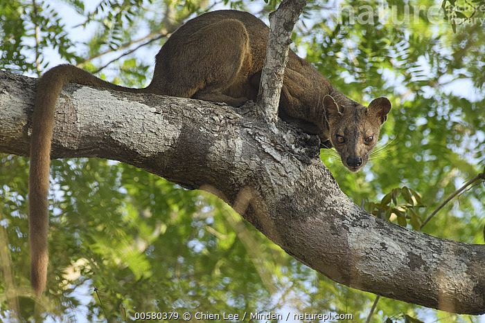 Fossa (Cryptoprocta ferox) female, Kirindy Forest, Madagascar  ,  Adult, Arboreal, Color Image, Cryptoprocta ferox, Day, Female, Fossa, Full Length, Horizontal, Kirindy Forest, Largest, Looking at Camera, Low Angle View, Madagascar, Nobody, One Animal, Outdoors, Photography, Side View, Threatened Species, Vulnerable Species, Wildlife,Fossa,Madagascar  ,  Chien Lee