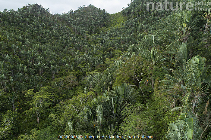 Travellers Palm (Ravenala madagascariensis) trees on hillside, Fianarantsoa Province, Madagascar, Color Image, Day, Fianarantsoa Province, Forest, Hillside, Horizontal, Landscape, Madagascar, Mountain, Mountain Range, Nobody, Outdoors, Peak, Photography, Ravenala madagascariensis, Travellers Palm,Travellers Palm,Madagascar, Chien Lee