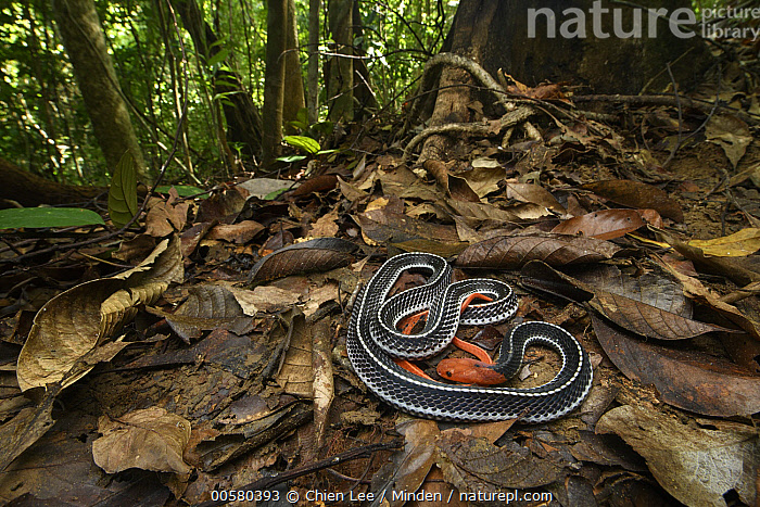 Red-headed Krait (Bungarus flaviceps) in rainforest, Santubong National Park, Sarawak, Borneo, Malaysia  ,  Adult, Animal in Habitat, Aposematic Coloration, Borneo, Bungarus flaviceps, Color Image, Day, Forest, Full Length, Horizontal, Malaysia, Nobody, One Animal, Outdoors, Photography, Rainforest, Red, Red-headed Krait, Santubong National Park, Sarawak, Side View, Wildlife,Red-headed Krait,Malaysia  ,  Chien Lee