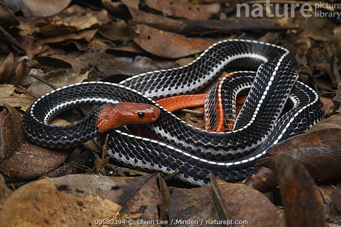 Red-headed Krait (Bungarus flaviceps), Santubong National Park, Sarawak, Borneo, Malaysia, Adult, Aposematic Coloration, Borneo, Bungarus flaviceps, Color Image, Day, Full Length, Horizontal, Malaysia, Nobody, One Animal, Outdoors, Photography, Red, Red-headed Krait, Santubong National Park, Sarawak, Side View, Wildlife,Red-headed Krait,Malaysia, Chien Lee