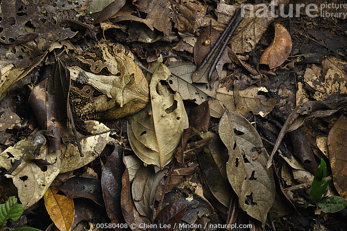 Amazon Horned Frog (Ceratophrys cornuta) camouflaged in leaf litter, Yasuni National Park, Ecuador, Adult, Amazon Horned Frog, Camouflage, Ceratophrys cornuta, Color Image, Day, Ecuador, Full Length, Horizontal, Nobody, One Animal, Outdoors, Photography, Top View, Wildlife, Yasuni National Park,Amazon Horned Frog,Ecuador, Chien Lee