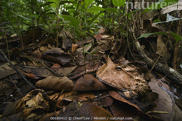 Amazon Horned Frog (Ceratophrys cornuta) in rainforest, Yasuni National Park, Ecuador, Adult, Amazon Horned Frog, Animal in Habitat, Ceratophrys cornuta, Color Image, Day, Ecuador, Full Length, Horizontal, Nobody, One Animal, Outdoors, Photography, Rainforest, Side View, Wide-angle Lens, Wildlife, Yasuni National Park,Amazon Horned Frog,Ecuador, Chien Lee