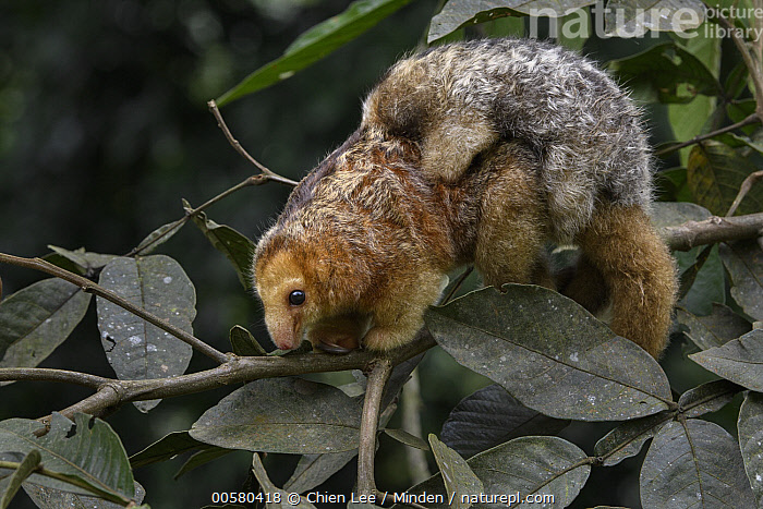 Pygmy Anteater (Cyclopes didactylus) mother and young, Esmeraldas, Ecuador  ,  Adult, Arboreal, Baby, Carrying, Color Image, Cyclopes didactylus, Day, Ecuador, Esmeraldas, Female, Full Length, Horizontal, Mother, Nobody, Outdoors, Parent, Parenting, Photography, Pygmy Anteater, Side View, Smallest, Two Animals, Wildlife, Young,Pygmy Anteater,Ecuador  ,  Chien Lee