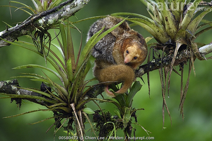 Pygmy Anteater (Cyclopes didactylus) mother and young, Esmeraldas, Ecuador  ,  Adult, Arboreal, Baby, Carrying, Color Image, Cyclopes didactylus, Day, Ecuador, Esmeraldas, Female, Full Length, Horizontal, Looking at Camera, Mother, Nobody, Outdoors, Parent, Parenting, Photography, Pygmy Anteater, Side View, Smallest, Two Animals, Wildlife, Young,Pygmy Anteater,Ecuador  ,  Chien Lee
