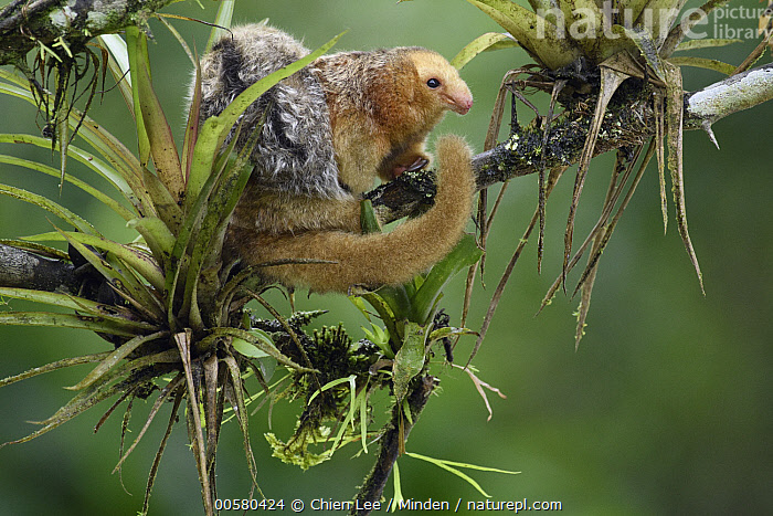 Pygmy Anteater (Cyclopes didactylus) mother and young, Esmeraldas, Ecuador, Adult, Arboreal, Baby, Carrying, Color Image, Cyclopes didactylus, Day, Ecuador, Esmeraldas, Female, Full Length, Horizontal, Mother, Nobody, Outdoors, Parent, Parenting, Photography, Pygmy Anteater, Side View, Smallest, Two Animals, Wildlife, Young,Pygmy Anteater,Ecuador, Chien Lee