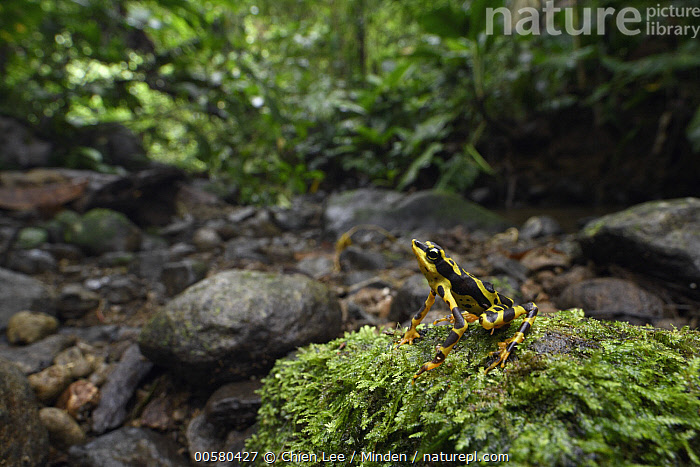 Condoto Stubfoot Toad (Atelopus spurrelli) in rainforest, Utria National Park, Colombia  ,  Adult, Animal in Habitat, Aposematic Coloration, Atelopus spurrelli, Color Image, Colombia, Condoto Stubfoot Toad, Day, Full Length, Horizontal, Nobody, One Animal, Outdoors, Photography, Poisonous, Rainforest, Side View, Threatened Species, Toxic, Utria National Park, Vulnerable Species, Wildlife,Condoto Stubfoot Toad,Colombia  ,  Chien Lee