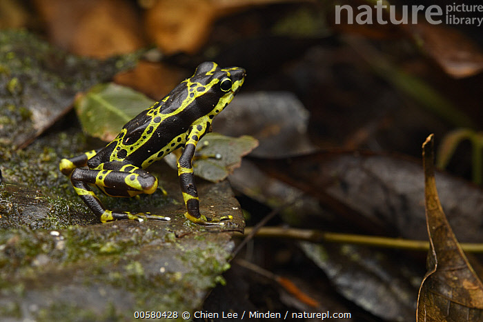 Condoto Stubfoot Toad (Atelopus spurrelli), Utria National Park, Colombia  ,  Adult, Aposematic Coloration, Atelopus spurrelli, Color Image, Colombia, Condoto Stubfoot Toad, Day, Full Length, Horizontal, Nobody, One Animal, Outdoors, Photography, Poisonous, Side View, Threatened Species, Toxic, Utria National Park, Vulnerable Species, Wildlife, Yellow,Condoto Stubfoot Toad,Colombia  ,  Chien Lee
