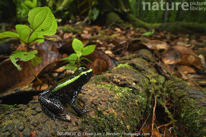 Kokoe Poison Dart Frog (Phyllobates aurotaenia) in forest, Utria National Park, Colombia, Adult, Animal in Habitat, Color Image, Colombia, Day, Forest, Full Length, Horizontal, Kokoe Poison Dart Frog, Nobody, One Animal, Outdoors, Photography, Phyllobates aurotaenia, Poisonous, Side View, Toxic, Utria National Park, Wildlife,Kokoe Poison Dart Frog,Colombia, Chien Lee
