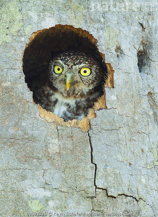 Cuban Pygmy-Owl (Glaucidium siju) in nest cavity, Cuba  ,  Adult, Color Image, Cuba, Cuban Pygmy-Owl, Day, Endemic, Front View, Glaucidium siju, Head and Shoulders, Hole, Looking at Camera, Nest Cavity, Nobody, One Animal, Outdoors, Peeking, Photography, Portrait, Raptor, Vertical, Wildlife,Cuban Pygmy-Owl,Cuba  ,  Kevin Schafer