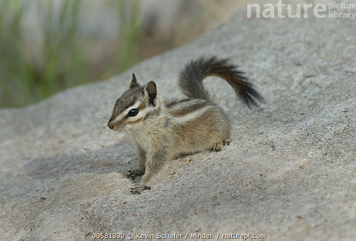 Palmer's Chipmunk (Tamias palmeri), Spring Mountains, Nevada  ,  Adult, Color Image, Day, Endangered Species, Full Length, Horizontal, Nevada, Nobody, One Animal, Outdoors, Palmer's Chipmunk, Photography, Side View, Spring Mountains, Tamias palmeri, Wildlife,Palmer's Chipmunk,Nevada, USA  ,  Kevin Schafer