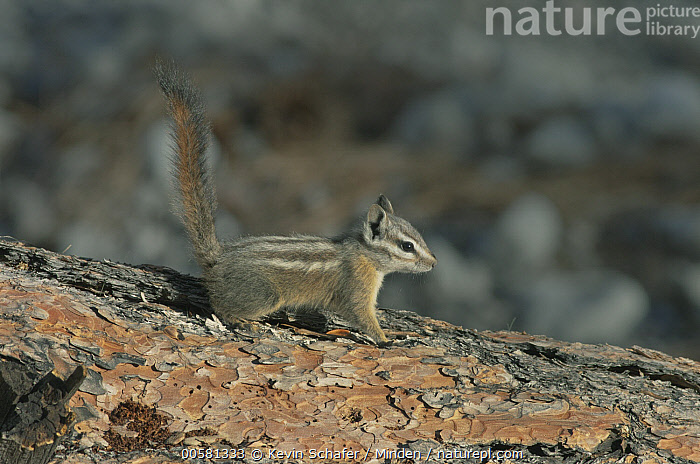 Palmer's Chipmunk (Tamias palmeri) with tail up, Spring Mountains, Nevada  ,  Adult, Alert, Color Image, Day, Endangered Species, Full Length, Horizontal, Nevada, Nobody, One Animal, Outdoors, Palmer's Chipmunk, Photography, Side View, Spring Mountains, Tamias palmeri, Wildlife,Palmer's Chipmunk,Nevada, USA  ,  Kevin Schafer