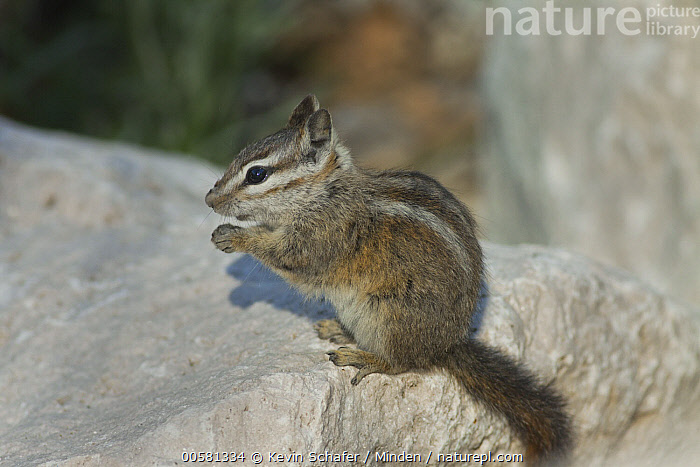 Palmer's Chipmunk (Tamias palmeri) feeding, Spring Mountains, Nevada, Adult, Color Image, Day, Endangered Species, Feeding, Horizontal, Nevada, Nobody, One Animal, Outdoors, Palmer's Chipmunk, Photography, Side View, Spring Mountains, Tamias palmeri, Three Quarter Length, Wildlife,Palmer's Chipmunk,Nevada, USA, Kevin Schafer